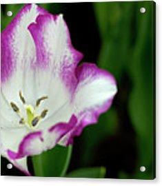Tulip Flower Acrylic Print by Pradeep Raja Prints