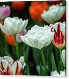 Tulip Flowers Acrylic Print by Pradeep Raja Prints
