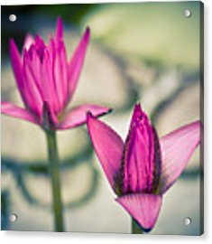 Waterlily Twins - Tropical Dream In The Pond Acrylic Print by Priya Ghose