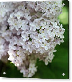 White Lilacs Acrylic Print by Laurel Best