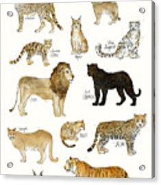 Wild Cats Acrylic Print by Amy Hamilton