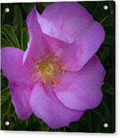 Wild Rose Acrylic Print by Garvin Hunter