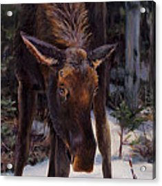 Young Moose And Snowy Forest Springtime In Alaska Wildlife Home Decor Painting Acrylic Print by Karen Whitworth