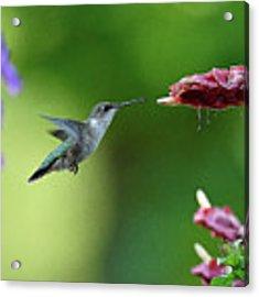 Hummingbird Heaven Acrylic Print by William Jobes