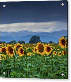 Sunflowers Under A Stormy Sky Acrylic Print by John De Bord