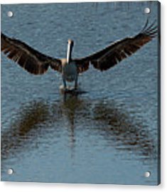 Brown Pelican Landing And Taking Off Looking For Fish Acrylic Print by Dan Friend