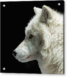 Arctic Wolf In Profile Acrylic Print by Susan Rissi Tregoning