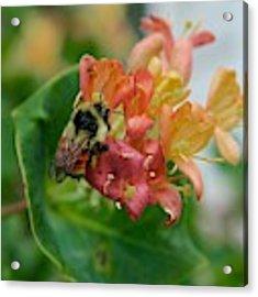 Bee On Wild Honeysuckle Acrylic Print by Ann E Robson