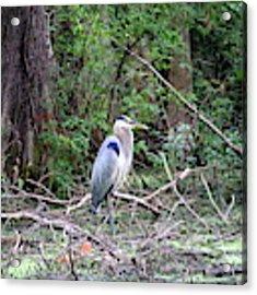 Blue Heron At The Lake Acrylic Print by Cynthia Guinn