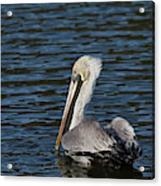 Brown Pelican Acrylic Print by Jemmy Archer