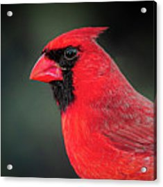 Cardinal Acrylic Print by Allin Sorenson