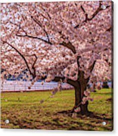 Cherry Blossom Trees Acrylic Print by Rima Biswas