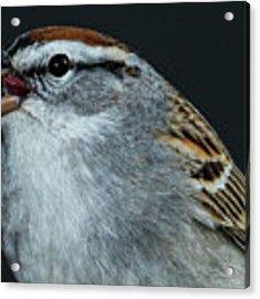 Chipping Sparrow 2 Acrylic Print by Allin Sorenson