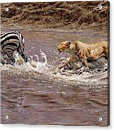 Closing In - Lion Chasing A Zebra Acrylic Print by Alan M Hunt