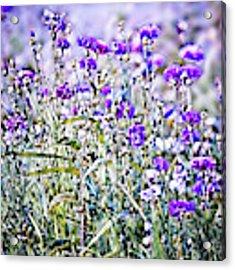 Cornflower Meadow Acrylic Print by Susan Maxwell Schmidt