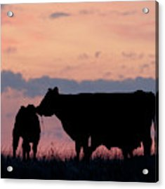 Cow And Calves After Sunset 01 Acrylic Print by Rob Graham