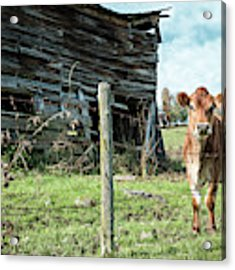Cow By The Old Barn, Earlville Ny Acrylic Print by Gary Heller