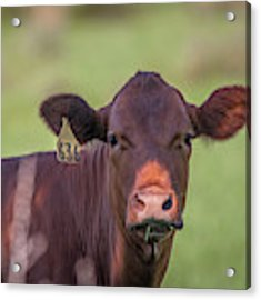 Curious Cow #636 Acrylic Print by Tom Claud