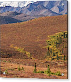 Denali Grizzly Acrylic Print by Tim Newton