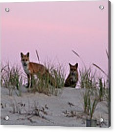 Dune Foxes Acrylic Print by Robert Banach