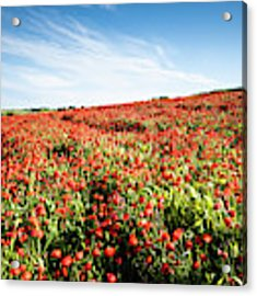 Field Full With Red  Poppy Anemone Flowers. Acrylic Print by Michalakis Ppalis