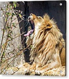 Fierce Yawn Acrylic Print by Kate Brown