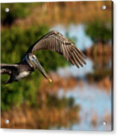 Flying Around Looking For Fish To Eat Acrylic Print by Dan Friend