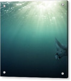Giant Manta Ray Acrylic Print by Nicole Young