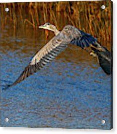 Great Blue Fly Away Acrylic Print by Tom Claud