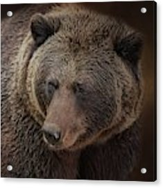 Grizzly Bear Acrylic Print by Eva Lechner