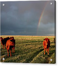 Heifers And Rainbow Acrylic Print by Rob Graham