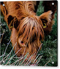 Highland Cow Eating Close Up Acrylic Print by Scott Lyons