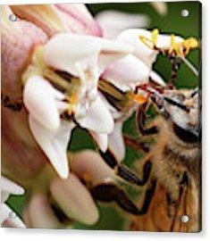 Honeybee Nectar Search Acrylic Print by Brian Hale