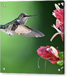 Hummingbird Arrives At Flower Acrylic Print by William Jobes