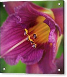 Lilies Acrylic Print by Allin Sorenson