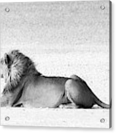 Lion In Wait Acrylic Print by Rand