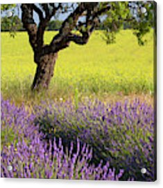 Lone Tree In Lavender And Mustard Fields Acrylic Print by Brian Jannsen