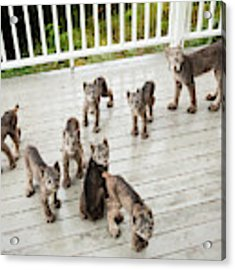 Lynx Family Portrait 11x14 Acrylic Print by Tim Newton