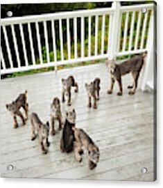 Lynx Family Portrait Acrylic Print by Tim Newton