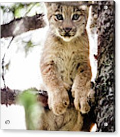 Lynx Kitten In Tree Acrylic Print by Tim Newton