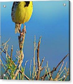 Meadowlark Acrylic Print by John De Bord