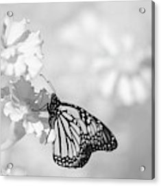 Monarch In Infrared Acrylic Print by Brian Hale