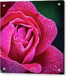 Morning Rose Acrylic Print by Brad Bellisle