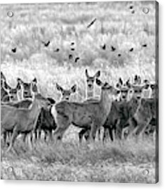 Mule Deer Black And White 01 Acrylic Print by Rob Graham