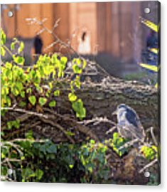 Night Heron At The Palace Acrylic Print by Kate Brown