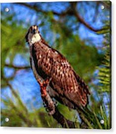 Osprey Lookin' At Ya Acrylic Print by Tom Claud