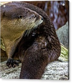 Otter Interrupted Acrylic Print by Kate Brown