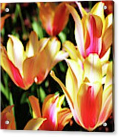 Pink And Yellow Tulips Acrylic Print by Cynthia Guinn