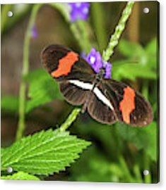 Postman Butterfly 1 Acrylic Print by Dawn Richards