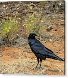 Raven, Grand Canyon Acrylic Print by Dawn Richards